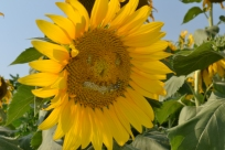 Sunflower with smiley face