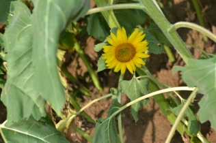 Tiny sunflower.
