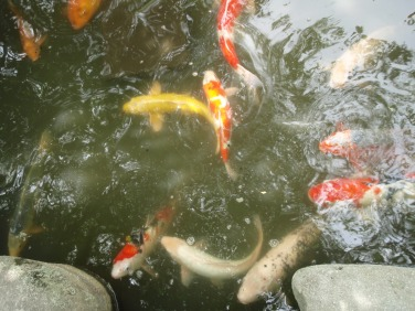 Carps. Lots of carps.